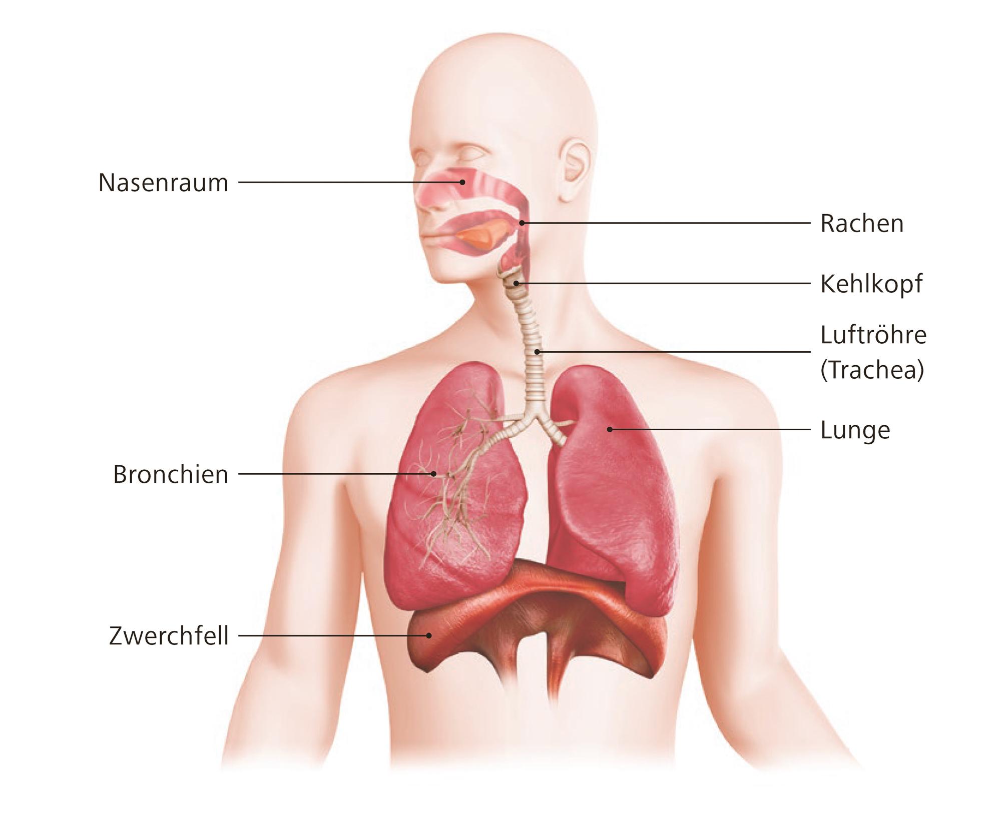 Community Anatomie Und Physiologie Der Atmung